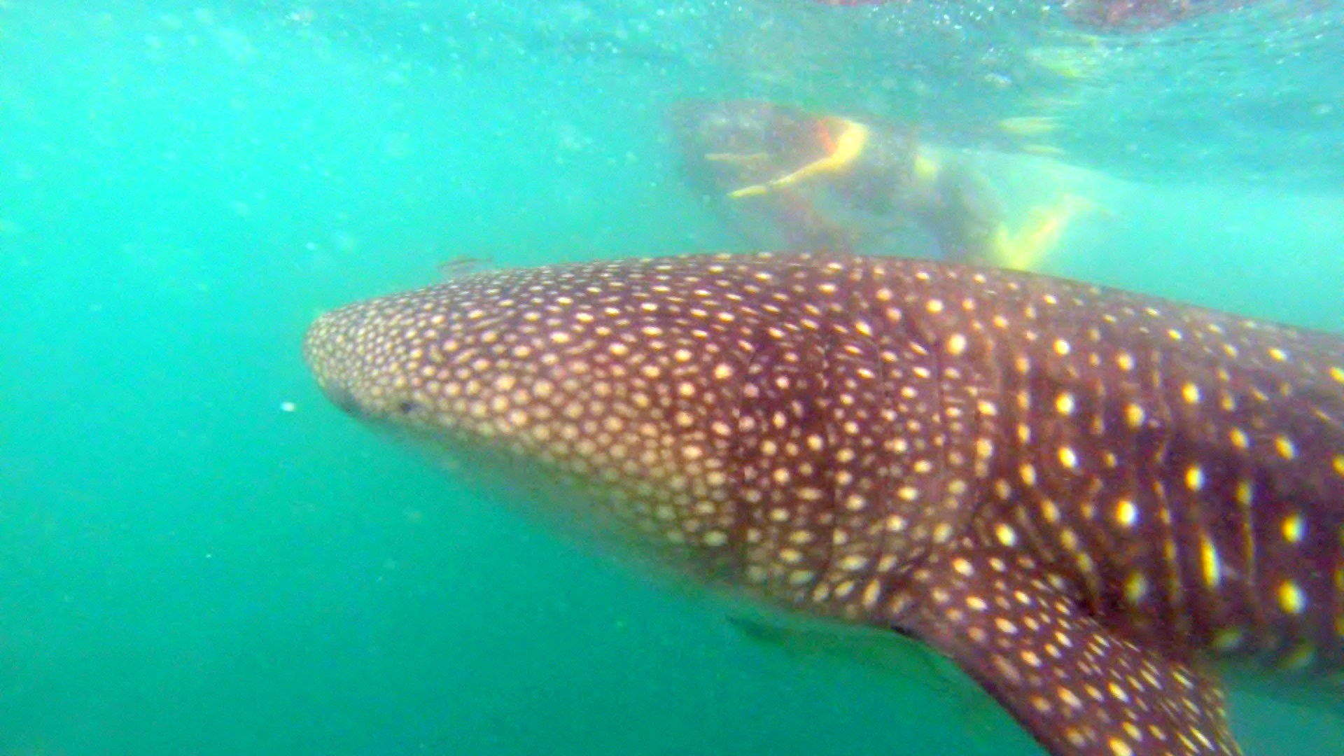 whale shark swim donsol